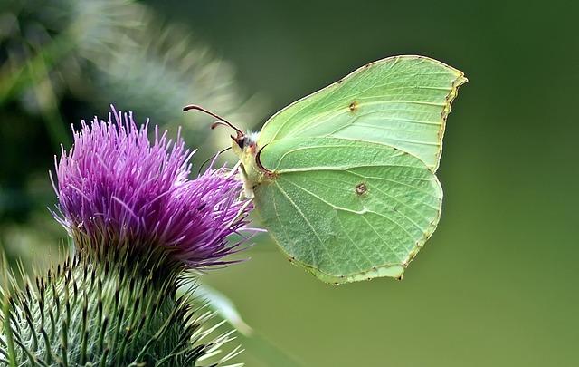 Gonepteryx Rhamni, Butterfly, Butterflies, Summer
