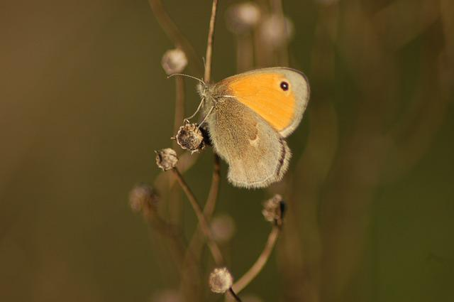 Butterfly, Ali, Insect, Butterflies