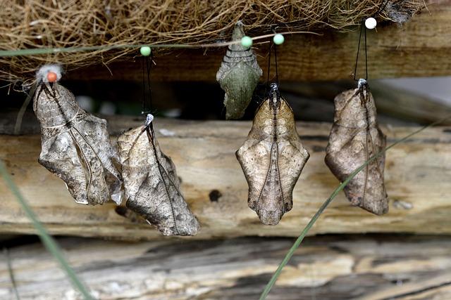Track, Butterflies, Metamorphosis, Breeding, Hanging