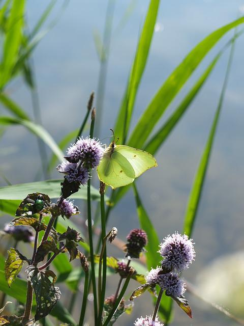 Gonepteryx Rhamni, Butterfly, Insect, Summer, Animal