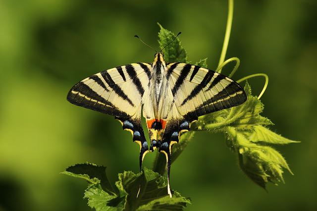 Butterfly, Animal, Insect, Wings