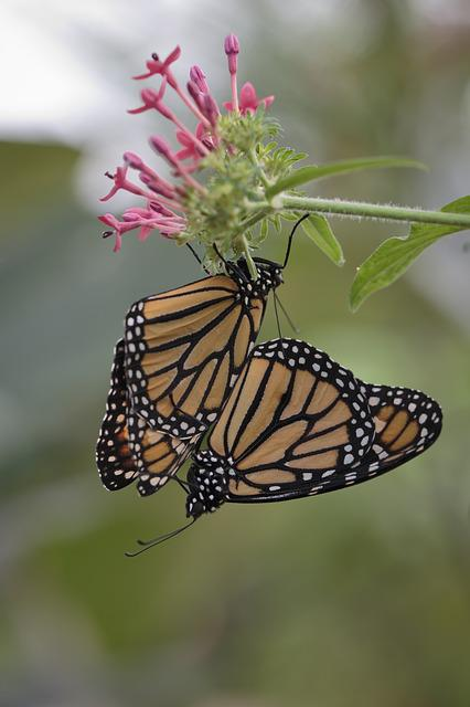Butterfly, Procreation, Nature, Animals, Coupling