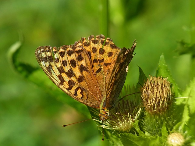 Fritillary, Argynnis Paphia, Butterfly, Insect, Animal