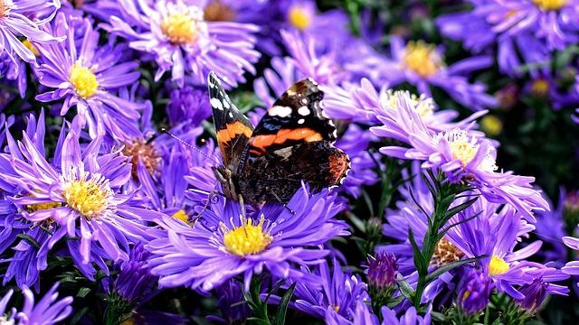 Butterfly, Herbstastern, Aster Dumosus, Asters
