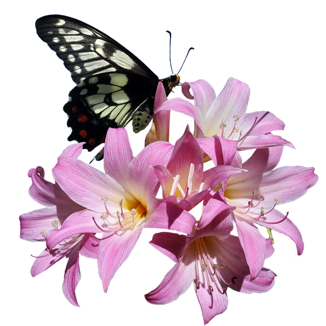 Butterfly, Belladonna, Lily, Flower, Insect