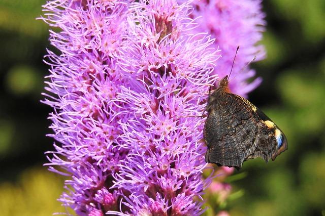 Liatris, Blossom, Bloom, Liatris Bloom, Butterfly