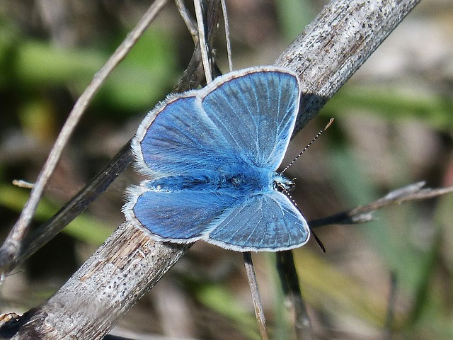 Blue Butterfly, Blue-winged Butterfly, Butterfly