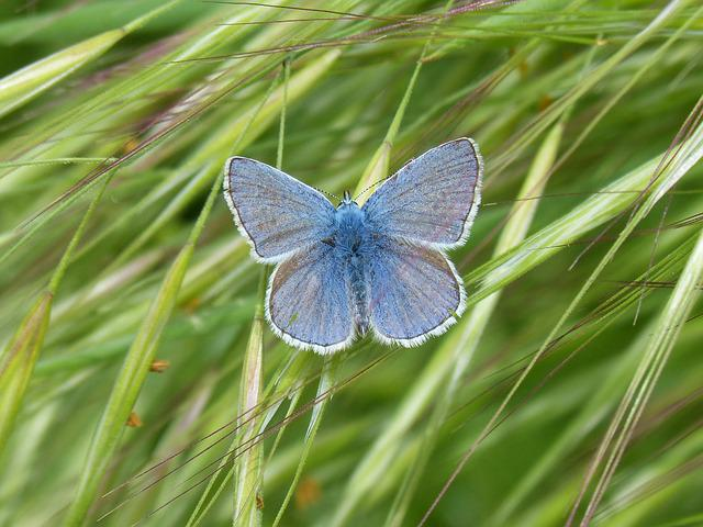 Blue Butterfly, Butterfly, Blaveta Commune, Nature