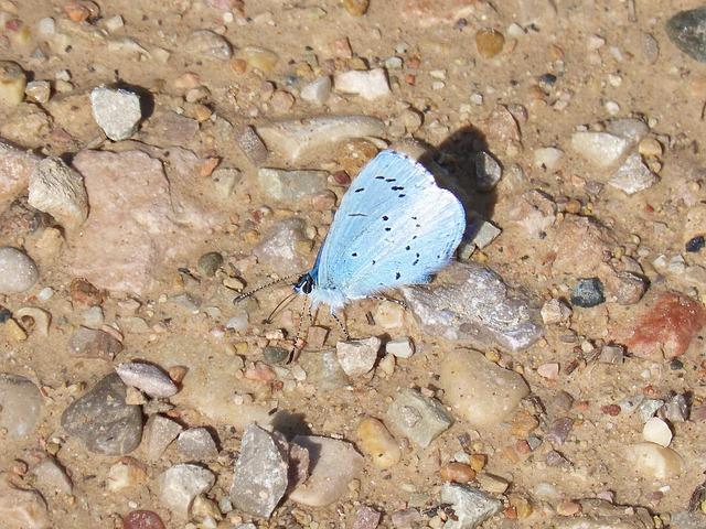 Blue-winged Butterfly, Butterfly, Mud
