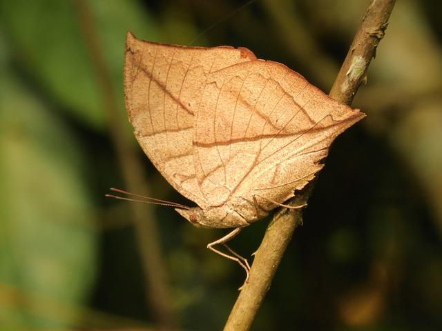 Butterfly, Manas National Park, Assam, Bodoland