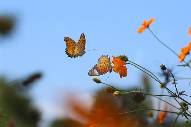 Butterfly, Brace, Lycaena Phlaeas