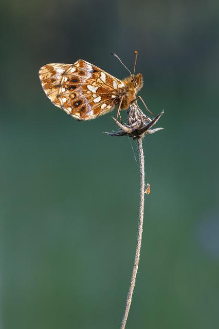 Butterfly, Brown, Insect