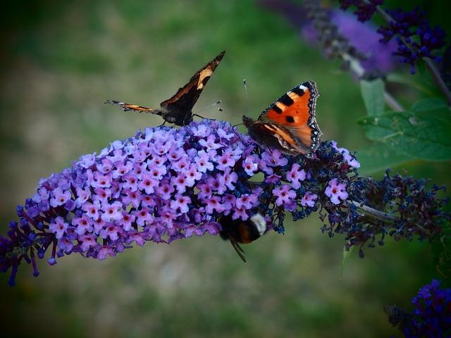 Butterfly, Butterfly Bush, Butterfly Bush David, Flower