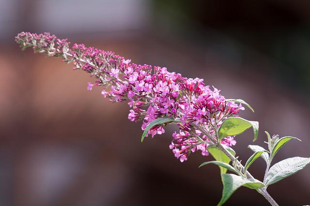 Free Photo Butterfly Bush Summer Lilac Buddleja Davidii