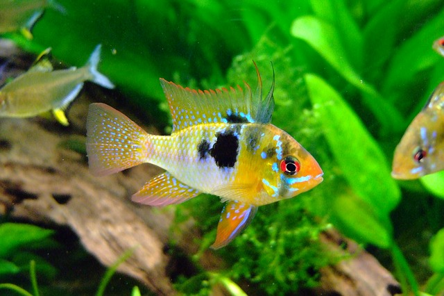 Butterfly Cichlid, Barch, Cichlid, Fish