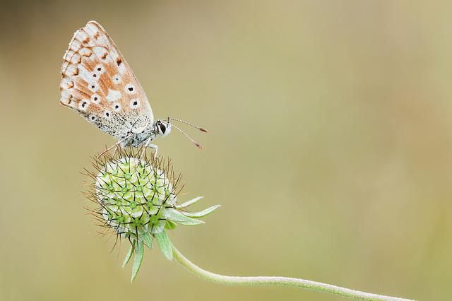 Common Blue, Nature, Macro, Butterfly, Insect, Close