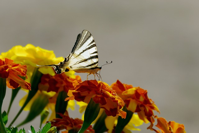 Flowers, Marigold, Butterfly, Colors, Silhouette, Moth