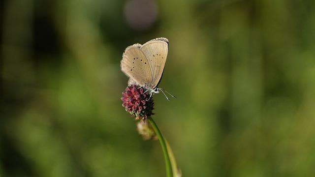 Ameisenbläuling, Butterfly, Common Blue, Lycaenidae