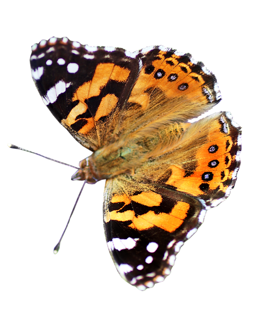 Butterfly, Insect, Cut Out, Isolated, Colorful