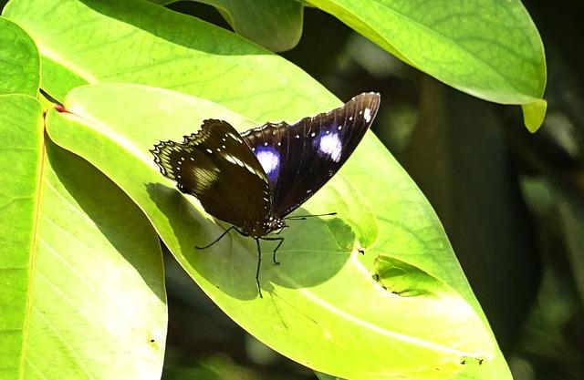 Butterfly, Danaid Eggfly, Mimic, Diadem