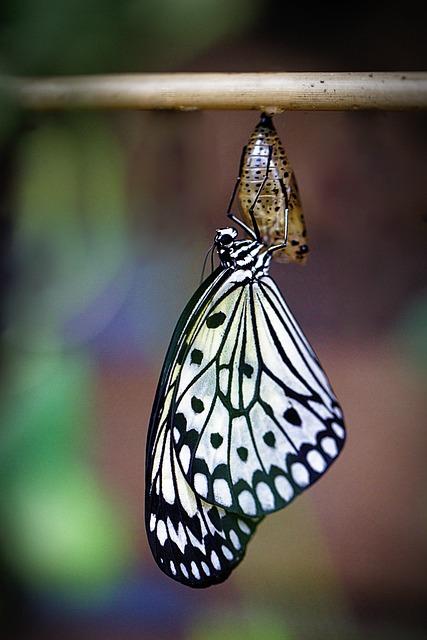 Butterfly, Hatch, Macro, Butterfly Dolls, Nature