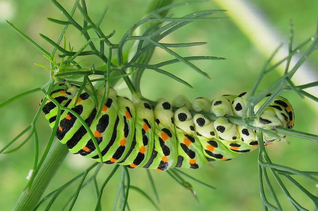 Caterpillar, Dovetail, Butterfly, Nature, Garden