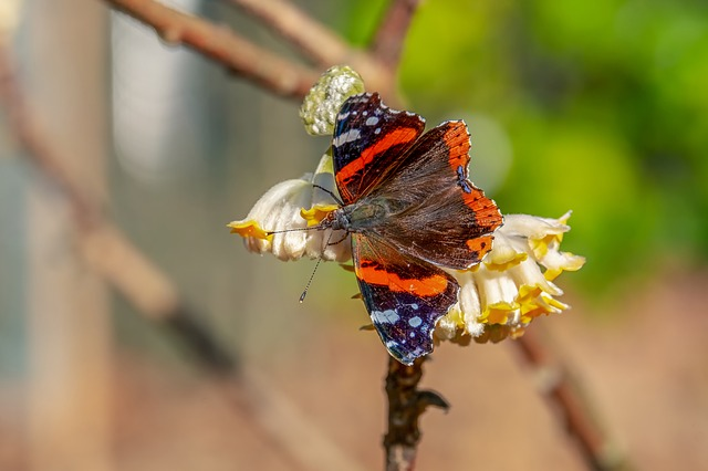 Butterfly, Admiral, Edelfalter, Insect