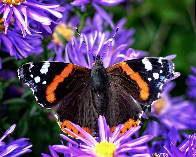 Butterfly, Admiral, Vanessa Atalanta, Edelfalter