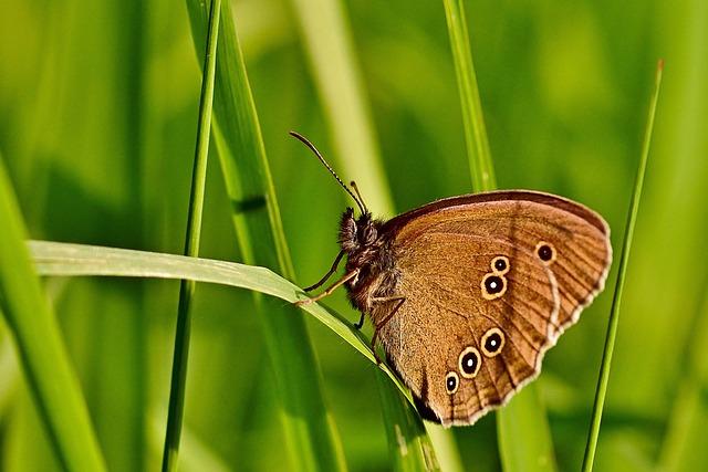 Butterfly, Brown Forest Bird, Nature, Edelfalter