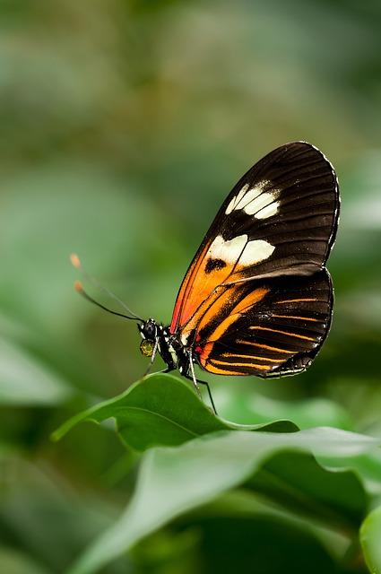 Heliconius, Melpomene, Butterfly, Exotic