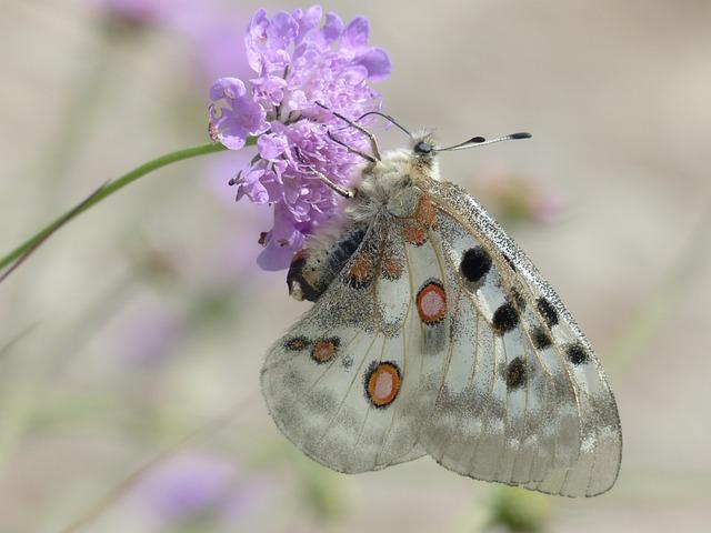 Butterfly, Insect, Flower, Apollo, Mountain Apollo