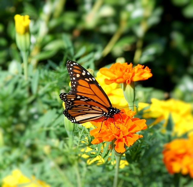 Butterfly, Monarch, Danaus Plexippus, Insect, Flowers