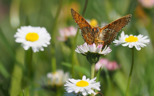 Nature, Insects, Butterfly, Flowers, Daisies