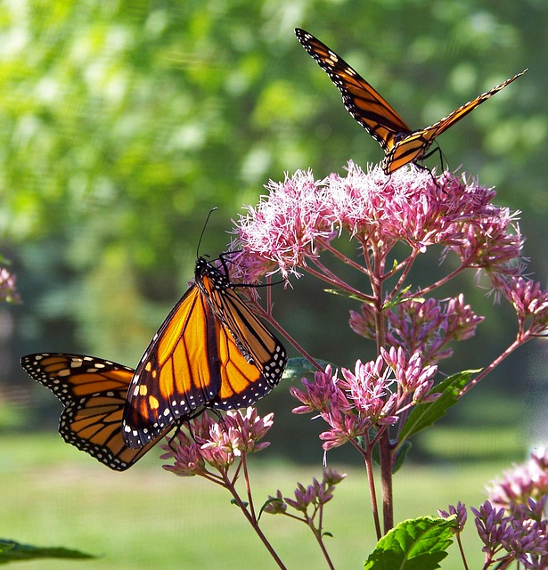 Butterfly, Monarch, Insect, Wing, Lepidoptera, Fly