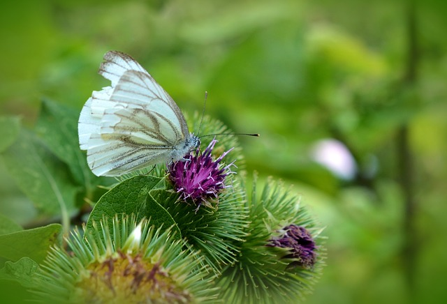 Butterfly, White Ling, Thistle, Meadow, Summer, Green