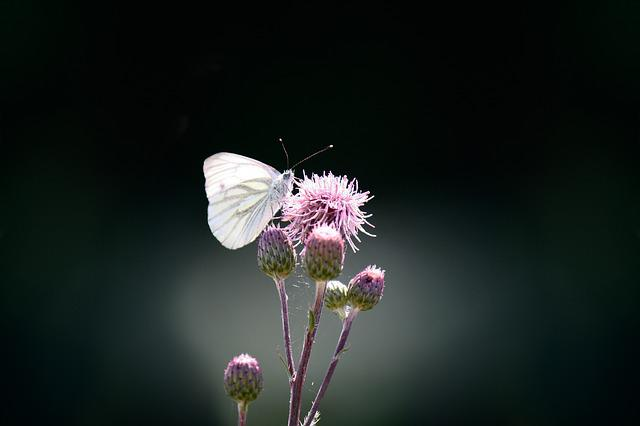 Butterfly, Green Vein, White Ling, Pieris Napi, Flower