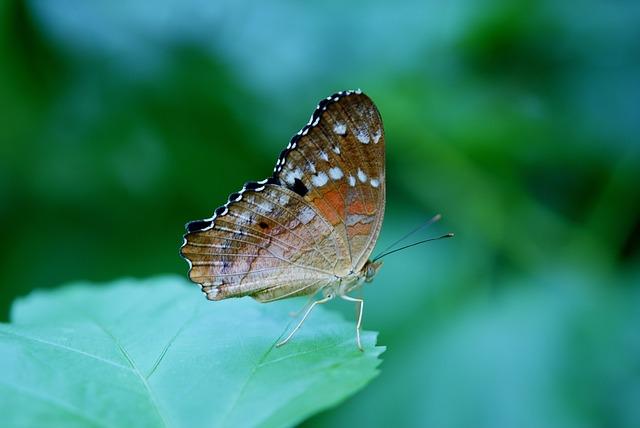 Danaus Plexippus, Butterfly, Butterflies, Insect