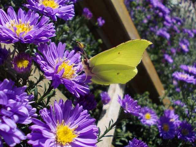 Gonepteryx Rhamni, Asters, Insect, Butterfly