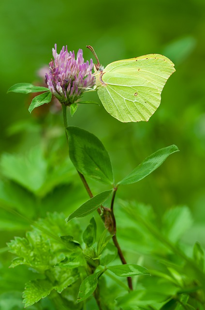Gonepteryx Rhamni, Males, Butterfly, Nature, Insect