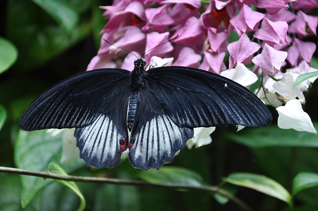 Butterfly, Mormon Butterfly, Nature, Insect, Papilio
