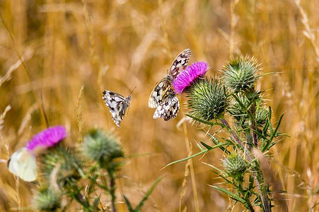 Butterfly, Insect, White
