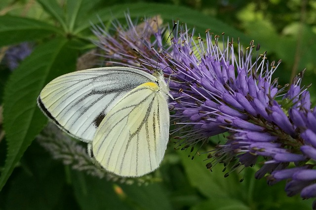 Japan, Natural, Creature, Insect, Bug, Butterfly