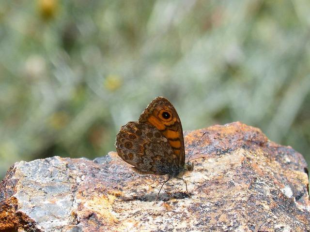 Lasiommata Megera, Butterfly Saltacercas, Butterfly