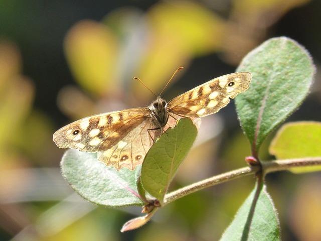 Butterfly, Lasiommata Megera, Butterfly Saltacercas