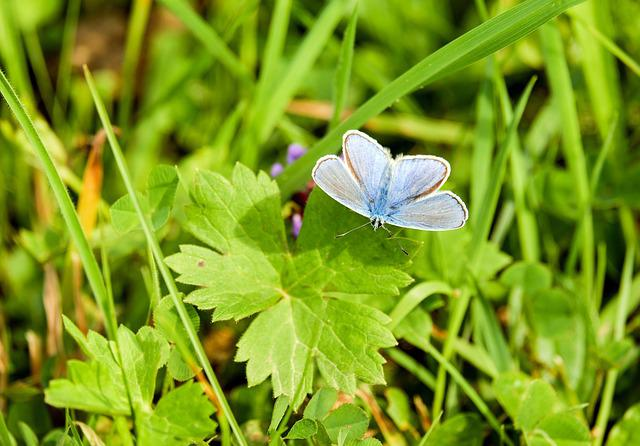 Common Blue Butterfly, Insect, Leaves, Butterfly, Wings