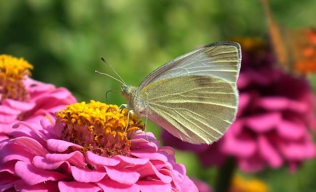 Nature, Flower, Zinnia, Butterfly, Bielinek, Light