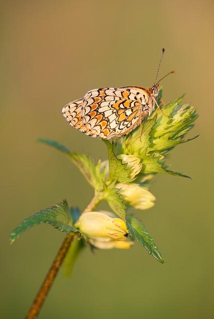 Knapweed Fritillary, Melitaea Phoebe, Butterfly, Nature