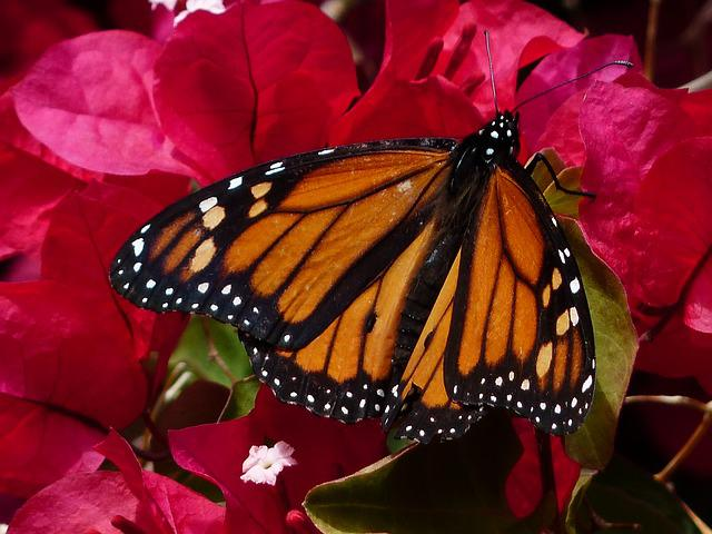 Butterfly, Monarch Butterfly, Danaus Plexippus