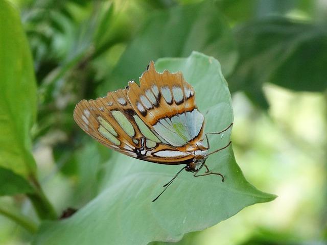 Monarch Butterfly, Butterfly, Danaus Plexippus