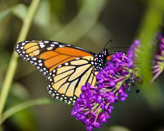 Butterfly, Insect, Nature, Flower, Wing, Monarch